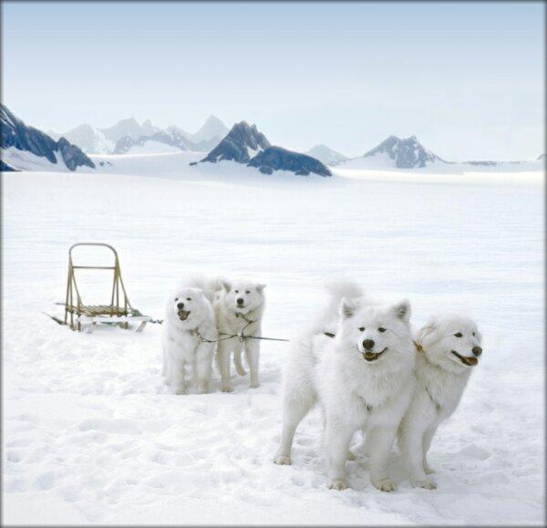 ...собакам - в этих псах вы не найдете и намека на помесь волка с.