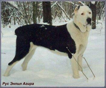 Среднеазиатскаяовчарка – собака
