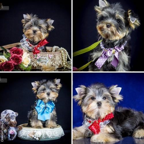 Чихуахуа купить в Москве щенки чихуахуа цены фото